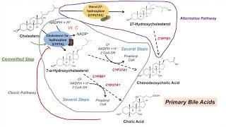 Bile Acid Synthesis | Classic and Alternative Pathways | Primary and Secondary Bile Acids