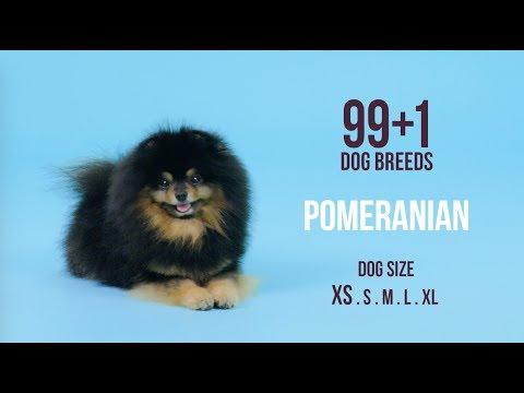 Pomeranian / 99+1 Dog Breeds