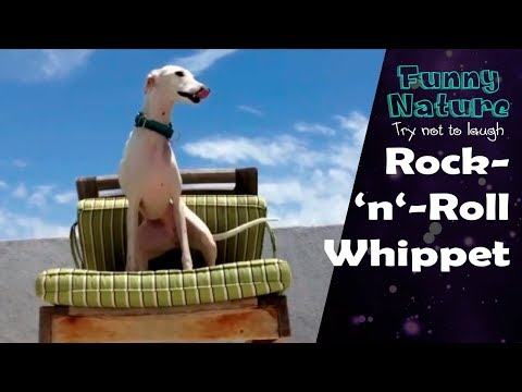 Funny Dog Dancing on Chair 2017 - FunnyNature