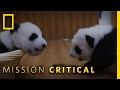 Top 3 Cutest Panda Baby Moments | Mission Critical