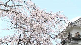 شاهد.. تفتح أزهار أشجار الكرز في اليابان