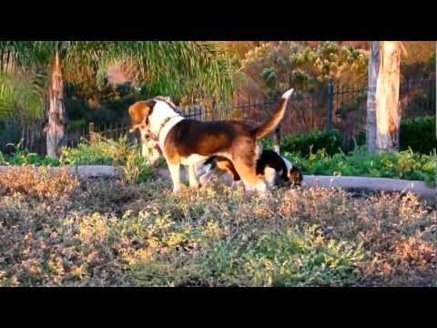 Baby Beagle Puppies Playing Pocket Beagles AKC For Sale Tri Color & Chocolate Browns