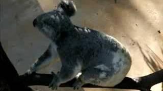 かわいいコアラの映像です。