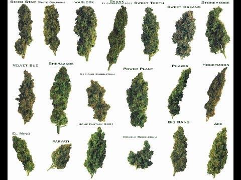 Marihuana 4 tipos mas potentes (Weed)