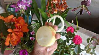 Como Combater Pragas de Plantas Usando Cebola