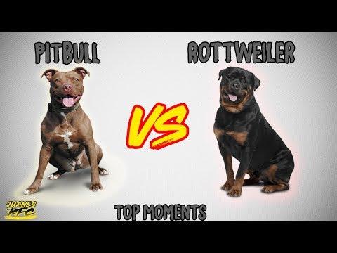Rottweiler vs Pitbull - TOP MOMENTS