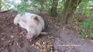 Ein schweinischer Herbst der Liebe
