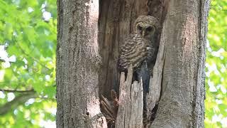 BARRED OWL, FRI. MAY 25, 2018 3831