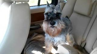 Mini Schnauzer Barking.  Attaway Sneak A Peak