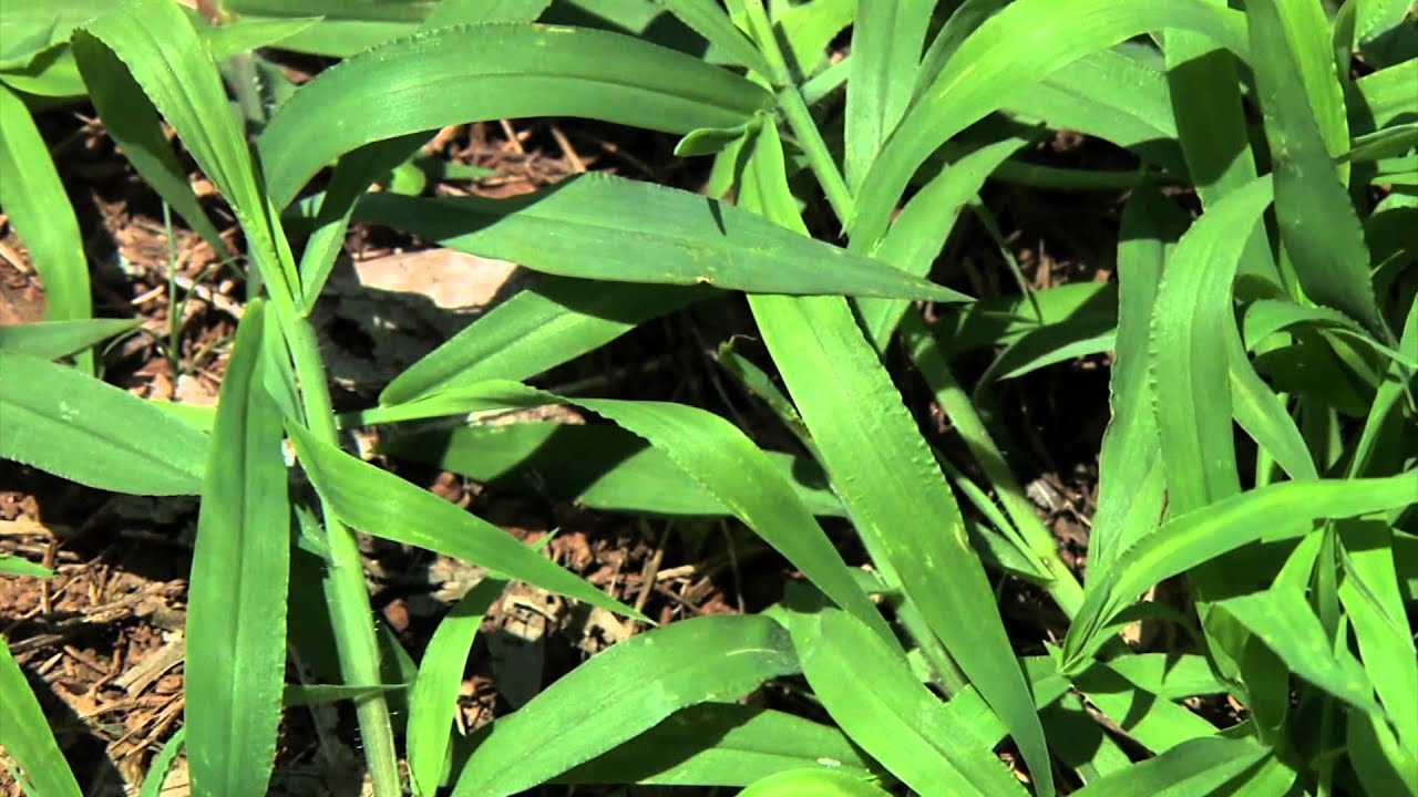 identifying grassy weeds goosegrass and crabgrass youtube