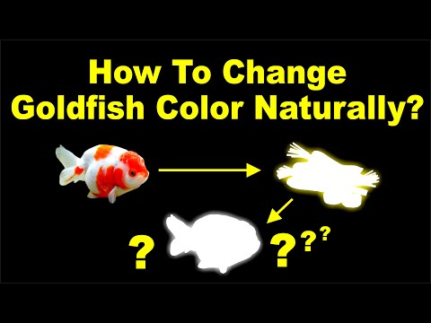 How To Change Goldfish Color Naturally!