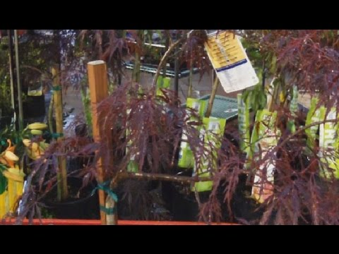 Buying Red Dragon Maple - Outtakes