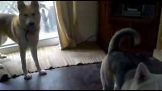 Malamute/german Shepherd Cross 10 Month Puppies Playing