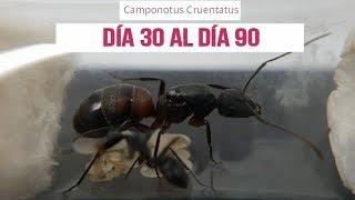 CAMPONOTUS CRUENTATUS , DíA 30 A DíA 90
