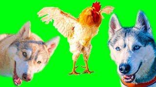 ВОЛКИ В КУРЯТНИКЕ!! (Хаски Бублик) Говорящая собака Mister Booble
