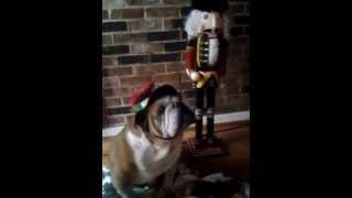 English Bulldog Barks At Christmas Carols
