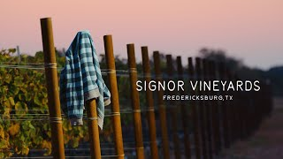 Signor Vineyards | Mourvèdre Grape Harvest 2020 | Shot on RED Komodo and Helium