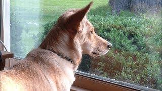 Собака смотрит в окно каждый день, пока владелец наконец не узнает, почему ее сердце разбито
