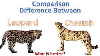 Difference between cheetah and Leopard | Cheetah Vs Leopard