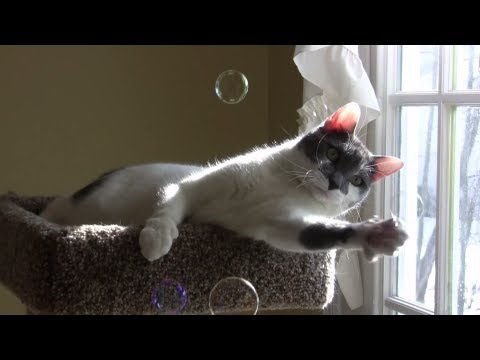 Leo the Cat Plays with Bubbles