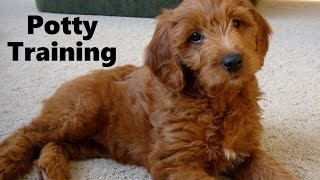 How To Potty Train An Irish Doodle Puppy - IrishDoodle House Training - Irish Doodle Puppies