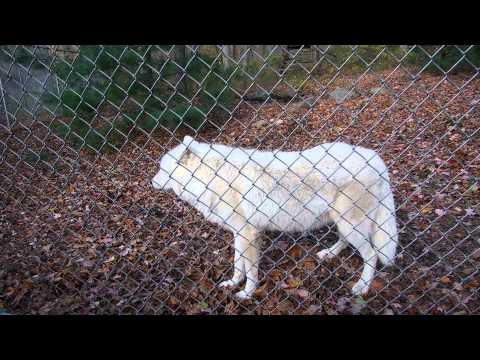 Howling With Arctic Gray Wolf Atka