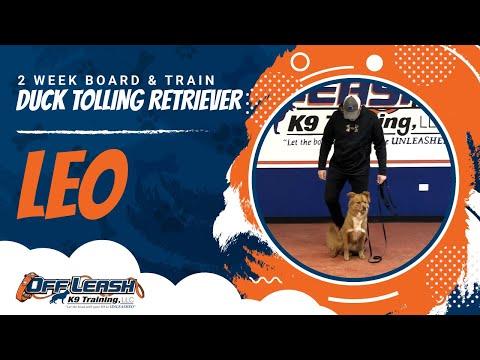 Duck Tolling Retriever, Leo | Duck Tolling Retriever Dog Training | Off Leash K9 Training