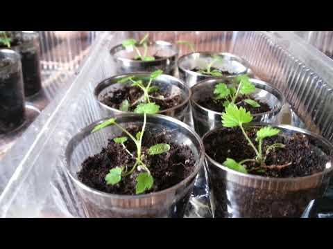 Мой опыт выращивания малины из семян.