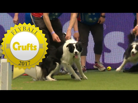 Flyball - Team Quarter Finals | Crufts 2017