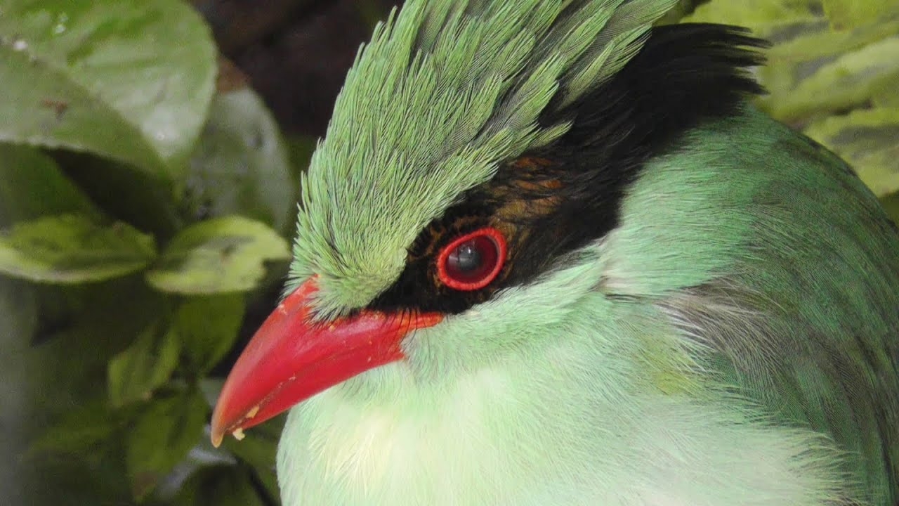 Green Magpie at Paradise Park - YouTube