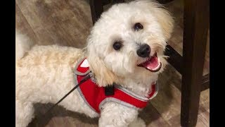 Cutest Maltipoo Puppies Video Compilation