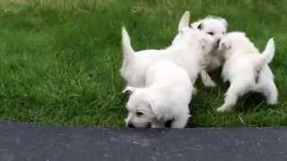 Westie Puppies For Sale