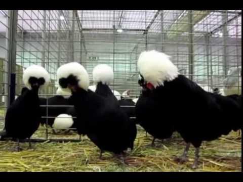 Polish Chicken Wikipedia 1