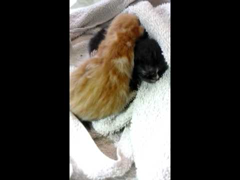 hiccuping little kittens