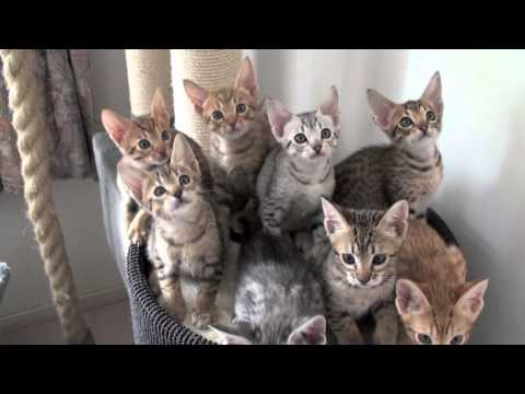 Meulicats Ocicats kittens follow the leader 10082010.mov
