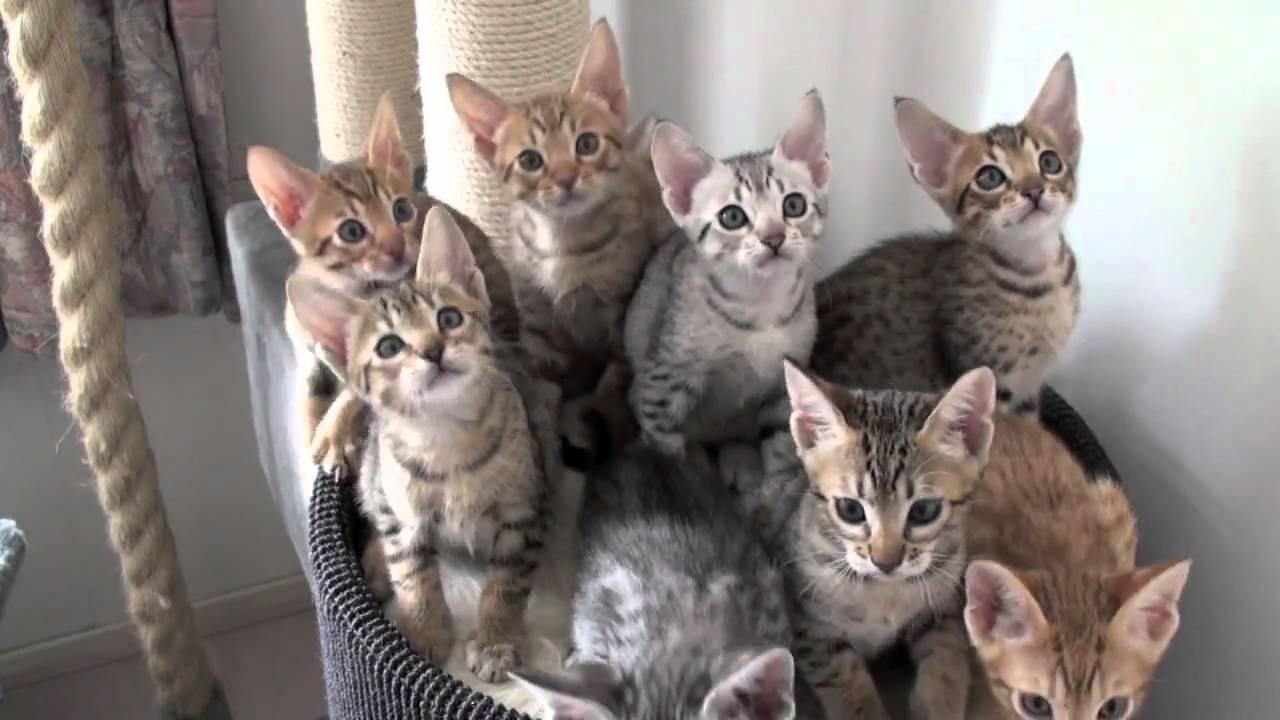 Meulicats Ocicats Kittens Follow The Leader 10082010 Mov