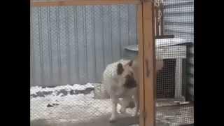 Собака танцует под музыку
