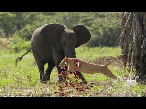 elephant vs lions attack to death | elephant vs crocodile ... Lion Vs Elephant