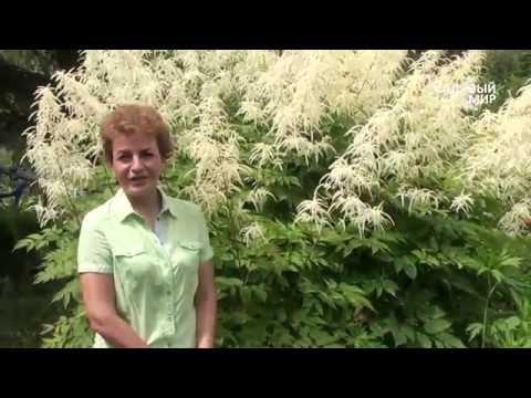 Неприхотливые растения для сада Волжанка