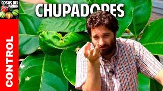 Plagas en Citricos - Como controlar los insectos chupadores @cosasdeljardin
