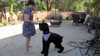 Saffron The Giant Schnauzer Has Some Tricks Up Her Sleeve