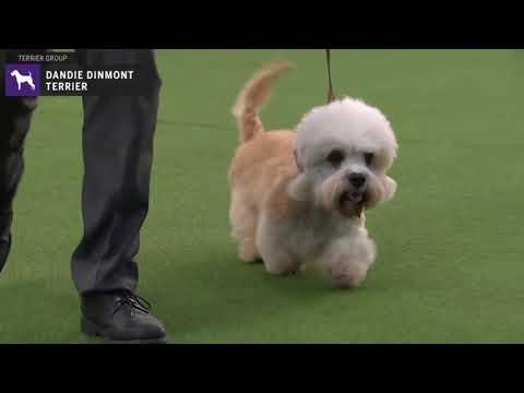 Dandie Dinmont Terriers | Breed Judging 2020