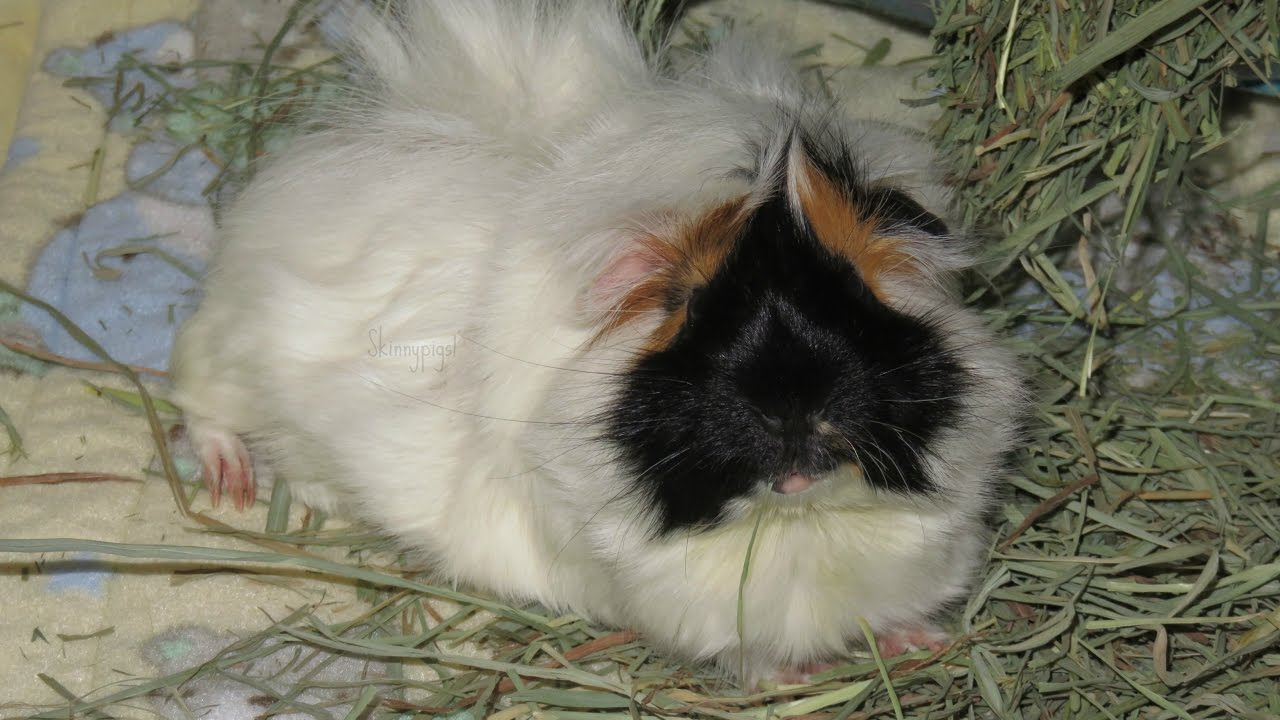 Mites: How To Treat Your Guinea Pig (Revolution)