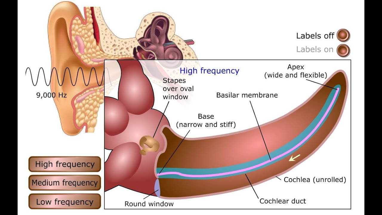 Erfreut The Anatomy And Physiology Of The Ear And Hearing Ideen ...