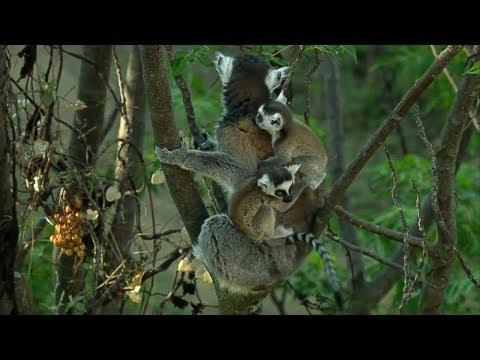 Twin Baby Ring Tailed Lemurs | Madagascar | David Attenborough | BBC Earth