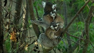Cute Baby Twin Ring Tailed Lemurs | Madagascar w/ David Attenborough | BBC