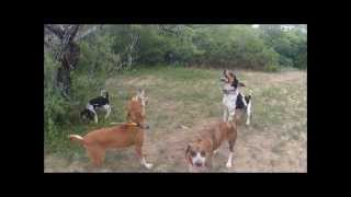 How To Scent Drag Train Young Hound Dogs To Teach Pup Hounds To Trail And Tree