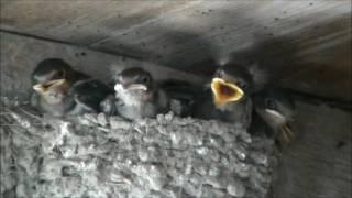 今年、2家族目の子育てが終わり、巣立ち間近のツバメの子供達。 狭い巣...