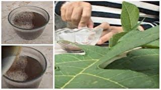 Obat Herbal Batu Ginjal dengan Ramuan Daun Pepaya [Manfaat Daun Pepaya]