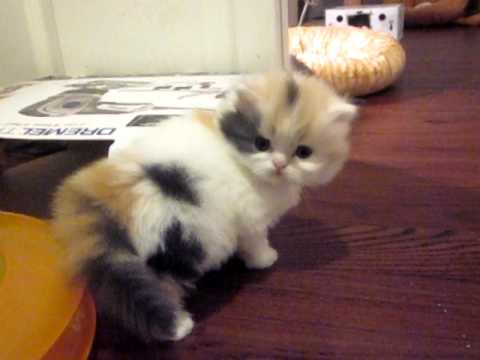 Persian kitten calico sisters from purrfectkeeperz.com